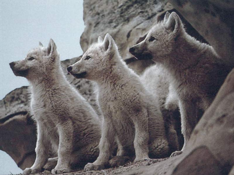 Wolf pups like this are killed in this ridiculous program